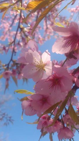 道端の桜が咲くなかでの定植でした!