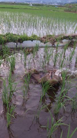 自然合鴨農法継続中!!  写真を撮ろうと近づきすぎたら親鳥に怒られましたf(^^;