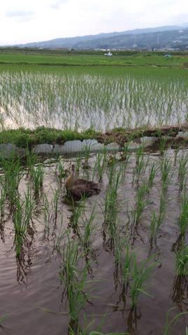 自然合鴨農法